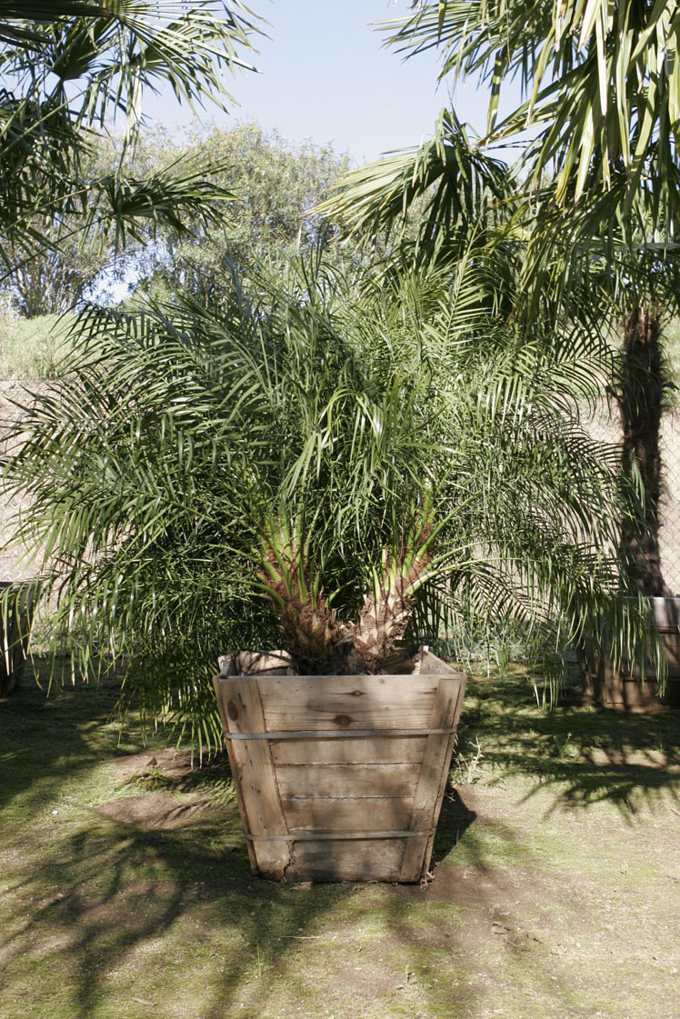 pygmy date palm http weekslandscapingcom plant library palmshtml